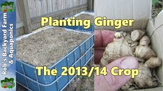 getlinkyoutube.com-Planting Ginger, 2013/14 crop..