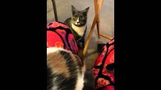 getlinkyoutube.com-Cat jealous over the owner