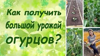 Как получить большой урожай огурцов? (семинар, основные правила)