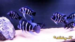 "WC Cyphotilapia gibberosa ""Moba purple"" group 2 - HD"