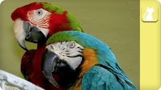 getlinkyoutube.com-Inseparable and Handicapped Parrots - Unadoptables