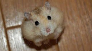 getlinkyoutube.com-Милые Веселые Хомячки! / Funny Hamster 2015