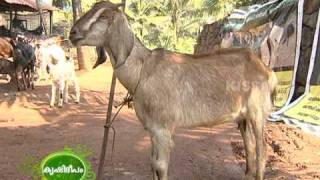 getlinkyoutube.com-Success story of an enterprising youth engaged in goat rearing.Has a variety of breeds of goat.