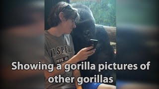 He showed a gorilla photos of other gorillas on his phone. Watch the gorilla's reaction!  ORIGINAL