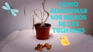 getlinkyoutube.com-Como Recuperar y Almacenar los Bulbos de los Tulipanes