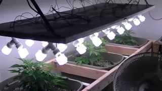 getlinkyoutube.com-Organic CFL indoor Medical Marijuana Grow Part 1