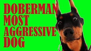 getlinkyoutube.com-Doberman most aggressive dog - Funny doberman dog video
