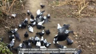 getlinkyoutube.com-Леушковские голуби