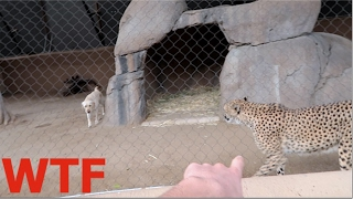 getlinkyoutube.com-DOG & CHEETAH LOCKED IN THE SAME CAGE! WTF