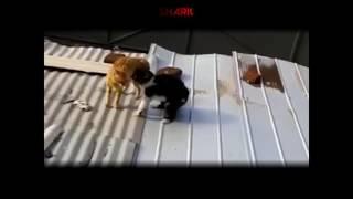 getlinkyoutube.com-Ghetto Cats Fight Over Harambe (Funny Voiceover)