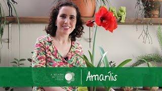 getlinkyoutube.com-Nô Figueiredo Ensina Como Cultivar Amarílis