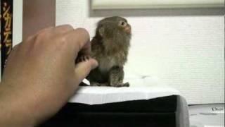 getlinkyoutube.com-Pygmy Marmoset ピグミーマーモセット