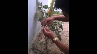 how to grafting eggplant plant