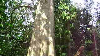 getlinkyoutube.com-Ular Memanjat Pohon