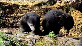 Woodland Park Zoo has some baby sloth bears for you