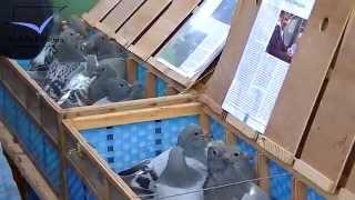 getlinkyoutube.com-Racing Pigeon Market Lier, Belgium 2014