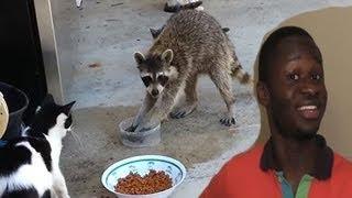 getlinkyoutube.com-Gangster Raccoon