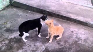 getlinkyoutube.com-gatos brigando