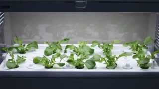 水耕栽培 Green Farm(成長過程の様子)
