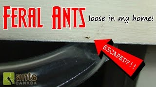 getlinkyoutube.com-FERAL ANTS LOOSE IN MY HOME! | How to Get Rid of Pest Ants
