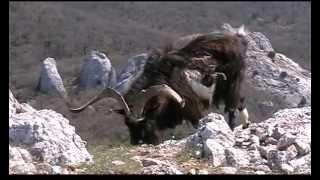 getlinkyoutube.com-Дикие козы с Ильяс-Кая