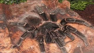 getlinkyoutube.com-Las arañas mas grandes del mundo