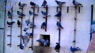 getlinkyoutube.com-Racing Pigeons listen to training commands