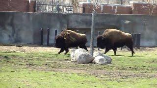 getlinkyoutube.com-Bison Paarung - Parung Bei Tieren   Paarung der Tiere