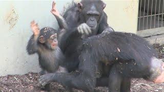 getlinkyoutube.com-Beat the baby chimpanzee