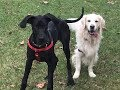 Rudy and Vader Playing in the leaves. English Cream Golden Retriever and 8 Month Great Dane
