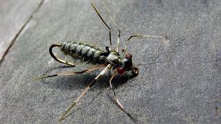 getlinkyoutube.com-Dragon fly nymph fly tying instructions by Ruben Martin