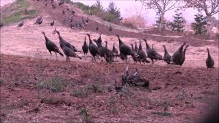getlinkyoutube.com-Pellet Gun Turkey Hunting Television - Episode 9 - Pied Piper-  Fall 2013