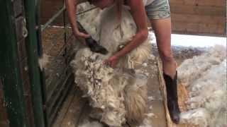 getlinkyoutube.com-Shearing an Alpaca Without Help
