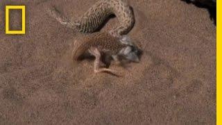 getlinkyoutube.com-Snake vs. Lizard | National Geographic
