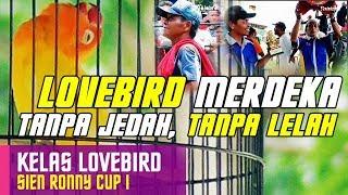 [SIEN RONNY CUP] Lovebird MERDEKA Ngekek Tanpa Jedah, Tanpa Lelah