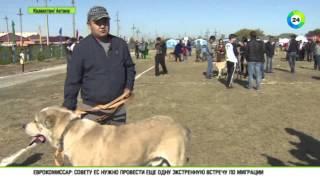 getlinkyoutube.com-Казахстан возродит национальные породы собак