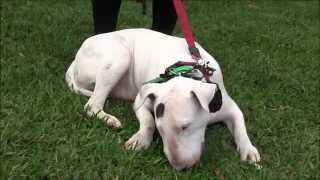 getlinkyoutube.com-Aggressive Bull Terrier attacks people and dogs