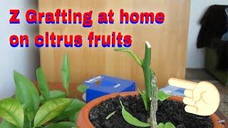 getlinkyoutube.com-The Z Grafting method on the lemon tree citrus/ Lamai altoit in Z