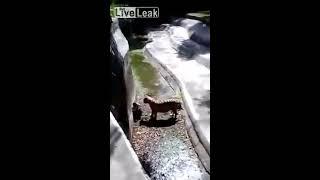 getlinkyoutube.com-Νέο βίντεο από την τίγρη που κατασπάραξε τον μαθητή