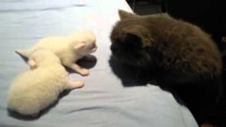 getlinkyoutube.com-Filhotes gatos persas miando
