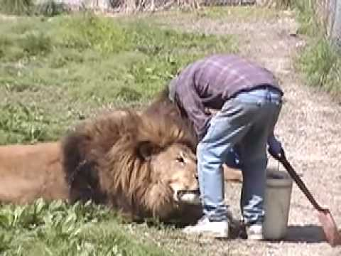 Lion Attack Friendly, Powerful, Dangerous ***IS THIS GUY CRAZY*****