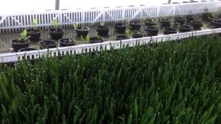 Wheat grass growth day 14 modified deep water culture