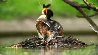 getlinkyoutube.com-Great Crested Grebes with babies - Wildlife ( HD quality )