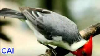getlinkyoutube.com-Som dos Pássaros