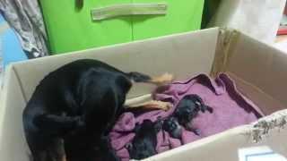getlinkyoutube.com-[BJ키덜트] 자고일어나니 강아지가 새끼를 낳고있다;;;