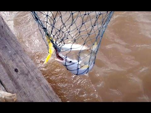 Câu Cá Bông Lau Đầu Mùa Gió Chướng Tại Cửa Sông Định An Ngày 21-11-2014.
