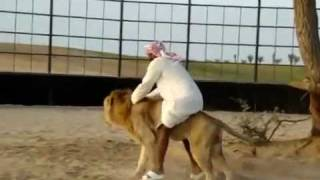 عربي يلعب مع  الاسد ويستخدمه كالحمارarabic man use the lion like donky