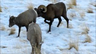 getlinkyoutube.com-Bighorn Ram in Love