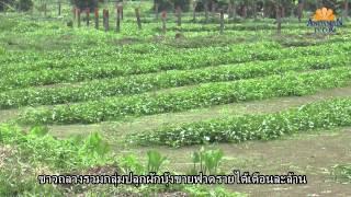 getlinkyoutube.com-ADMTV ปลูกผักบุ้งเงินล้าน