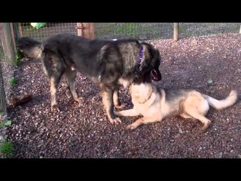 Azer the Caucasian Shepherd Dog Meets Molly Moo the German Shepherd Dog